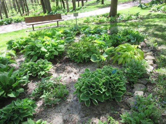 Dubuque, IA: Hosta Bed in Shade Garden