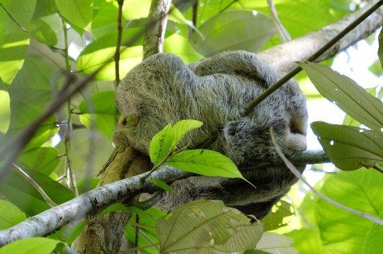Copa de Arbol Beach and Rainforest Resort: Paresseux in the garden