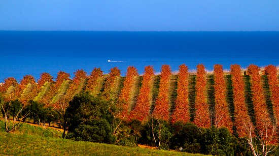 McLaren Vale, Australia: View to the Gulf St Vincent from the vineyard