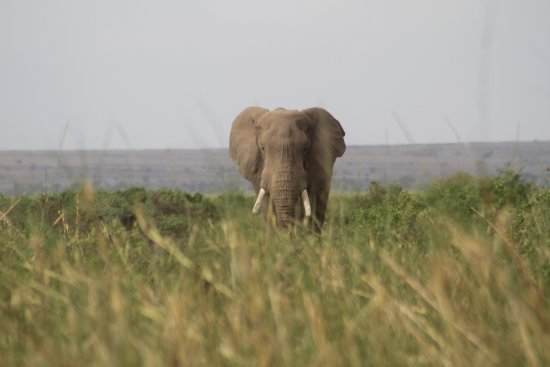 Amboseli National Park, Kenya: A lonely bull elephant