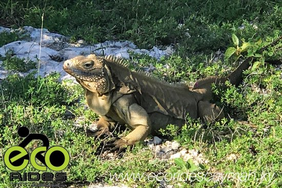 "East End, Grand Cayman: ""Dutty Boy"" A Cayman Blue Iguana dirty from digging in a hole covered with lrich red cayman soil"