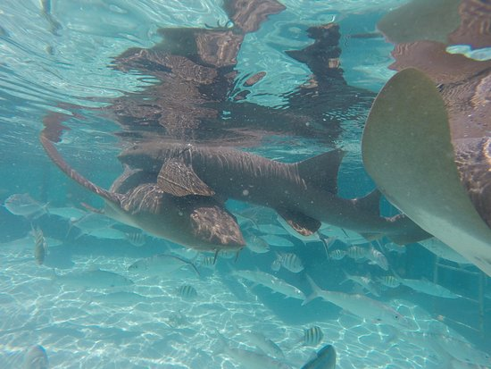Compass Cay: Nurse Sharks