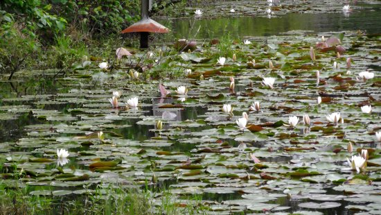 Hampton, Carolina del Sur: Numerous water lilies