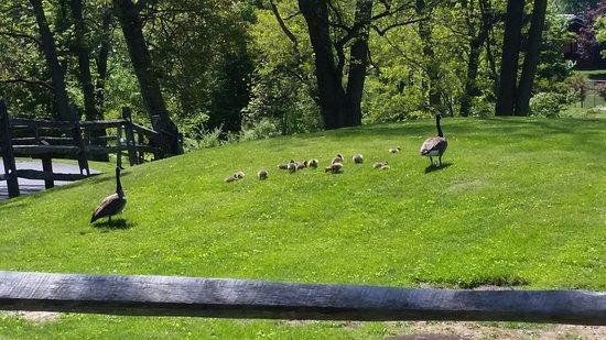 Lebanon, PA: geese