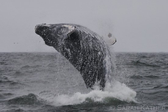 Isla Chiloe, Chile: Humpback whale breaching, coast of Puñihuil, Chiloé