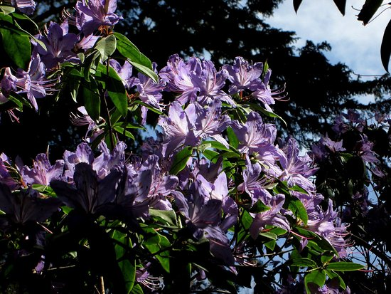 Minterne Gardens: Rhododendron - early May