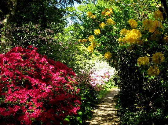 Minterne Gardens: Rhododendrons in lower walk - early May