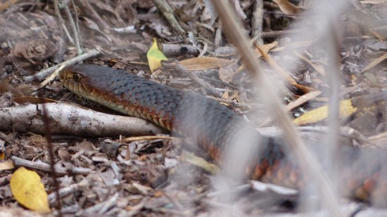 Narawntapu National Park: Think we can agree it's a copperhead