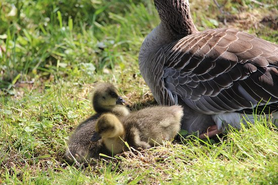 Alcester, UK: Goslings