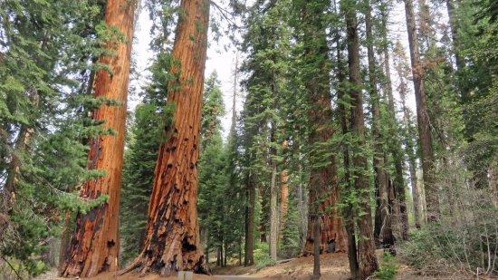 Three Rivers, CA: Amazing giants