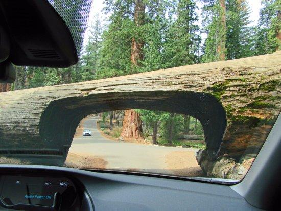 Three Rivers, Καλιφόρνια: Drive thru a tree? Yes