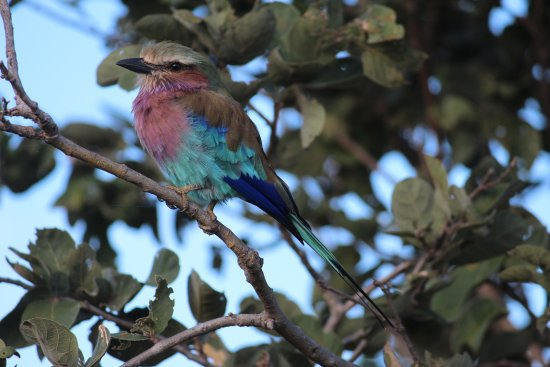 Chobe Game Lodge: Lilac Breasted Roller