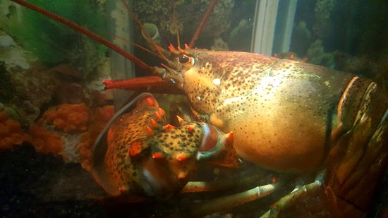 Story, Wyoming: The Tunnel Inn Now has Live Lobsters