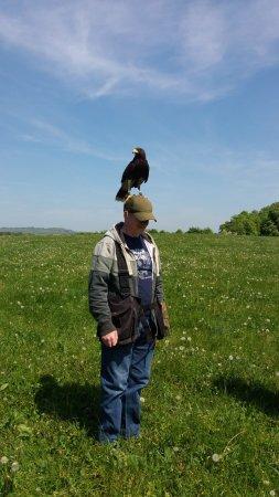 West of England Falconry: Charlie the Harris Hawk surveys his kingdom!