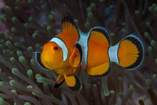 Lanta Diver: a bold title follow clown fish