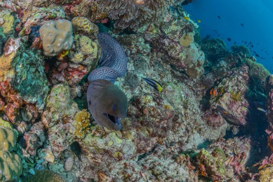 Lanta Diver: Giant Moray Eel