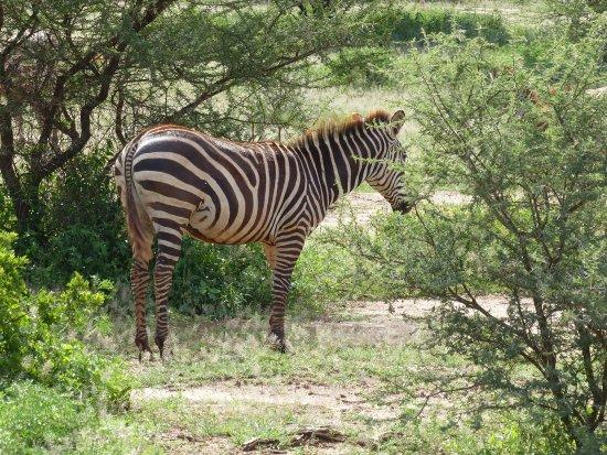 Arusha Region, Tanzania: Zebra in Serengati National Park