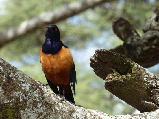 Región de Arusha, Tanzania: Hildabrantstarling in Tarangire National Park