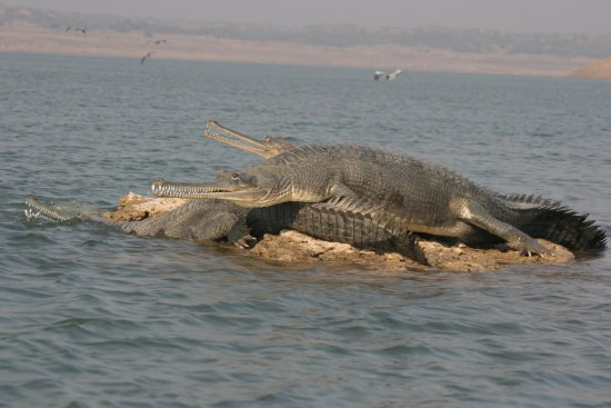 National Chambal Sanctuary NCS
