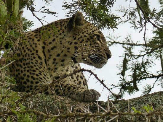 Región de Arusha, Tanzania: Leopard in Serengeti National Park