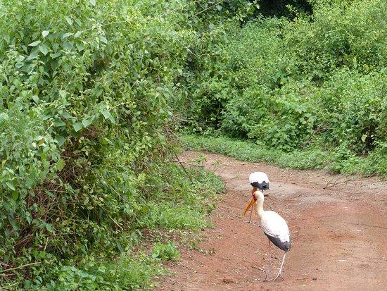 Yellow Bill Stork in Tarangire National Park