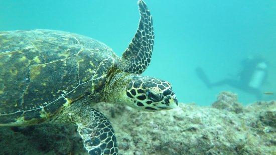 Dominical, Costa Rica: Hawksbill sea Turtle  at Caño Island!