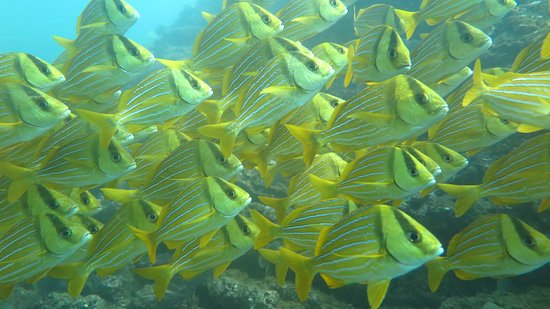 Costa Rica Dive and Surf: Panamic Porkfish schooling at Caño Island!