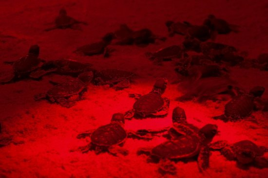 Playa Grande, Costa Rica: Turtle tour hatching baby turtles