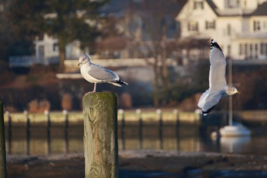 New Rochelle, NY: Seagulls Five Islands Park