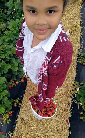 Eagle Springs, NC: Strawberries at there best! Fun Family Friendly Farm! A must do for Spring!
