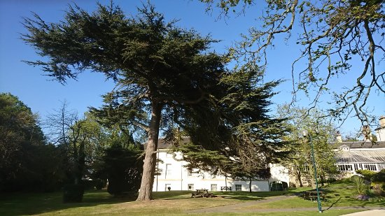 Owston, UK: Cedrus libani