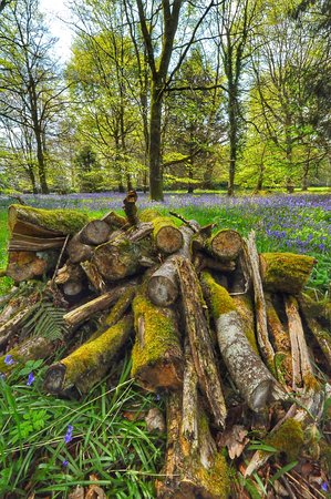 County Laois, Ireland: Bluebell Forest