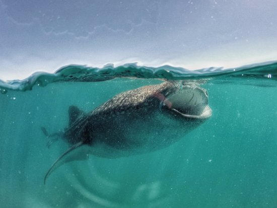 Los Cabos Whale Shark