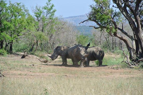 Zululand, Afrika Selatan: rhino