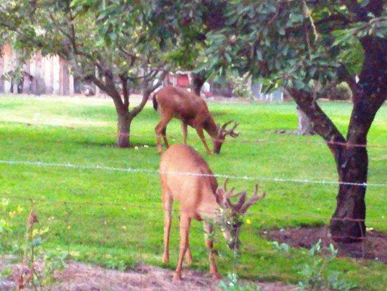 Sequim, WA: the local deer love their lavender fields too