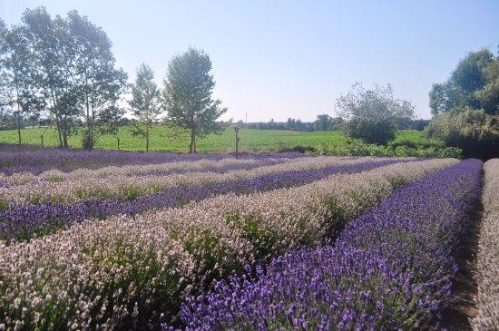 Sequim, WA: beautiful lavender bloomed