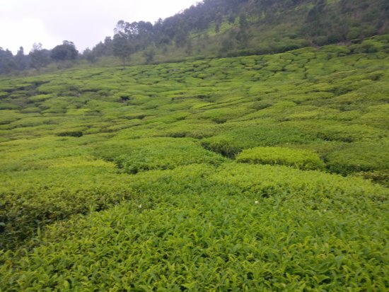 Red Hill Nature Resort: View of the Tea Estate