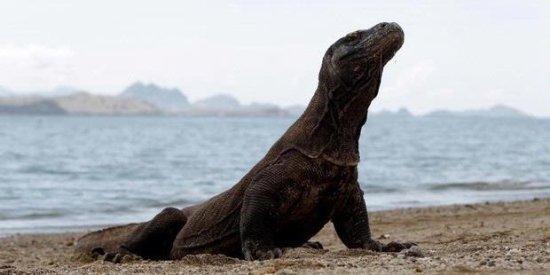 Komodo Wonderfull Tour: dragon on the beach