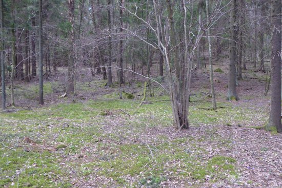 Lohja, Suomi: Hazel plants (Corylus avellana) still bare after the winter