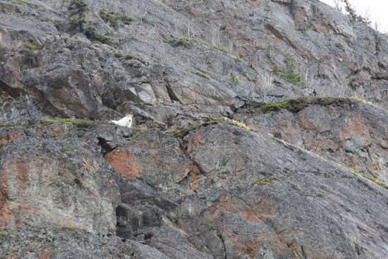 Eagle River Nature Center: Mountain Goat watching me as I hiked