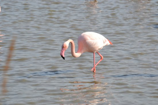 Le Petit Train Camarguais : Flamant rose
