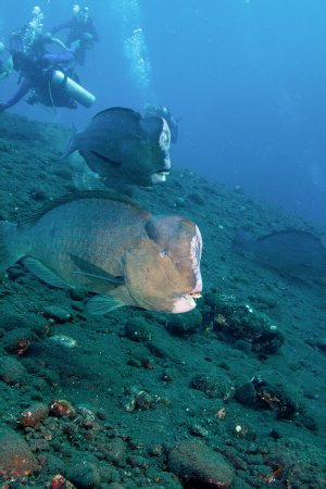 Matahari Tulamben Resort, Dive & SPA: bumphead parrot fish