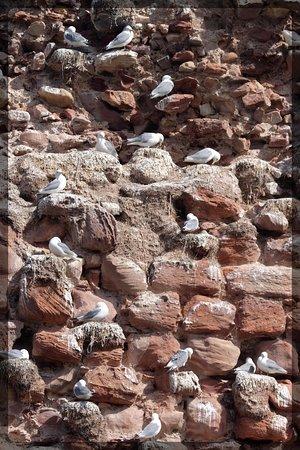Dunbar, UK: castle birds