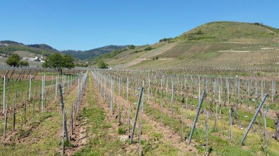 Route des vins d'Alsace: Vignes en avril
