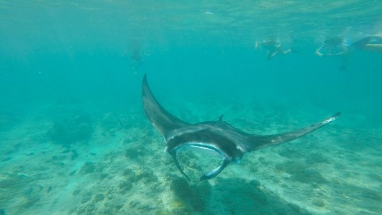 Gili Lankanfushi Maldives: Majestic Manta and snorkelers