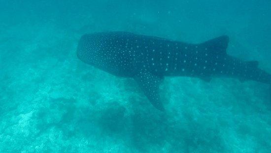 Gili Lankanfushi Maldives: Whaleshark Dylan says hi