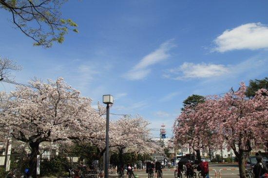 目黒区, 東京都, 枝垂桜と染井吉野