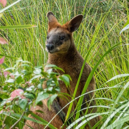 Abelia House: Swamp Wallaby in long grass