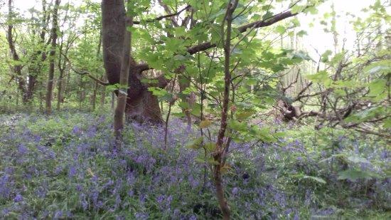 Middleton Park: Bluebells