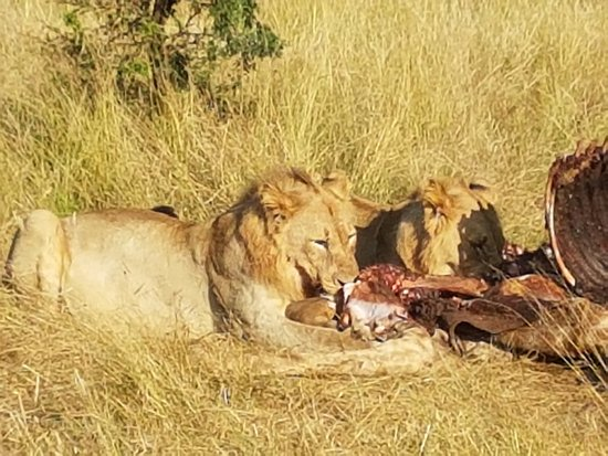 Pilanesberg Safaris and Tours: Lions eating their latest kill